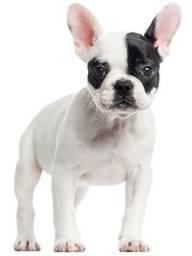 Bulldog filhotinhos na promoção!!