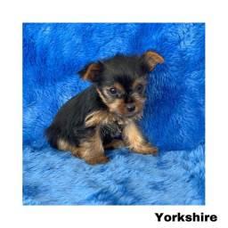 Título do anúncio: Yorkshire com pedigree e micro chip em até 12x