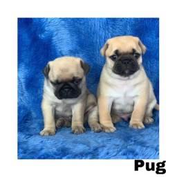 Título do anúncio: Pug com pedigree e micro chip em até 12x