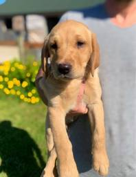 Labrador, macho e fêmea com garantias de vida e saúde!