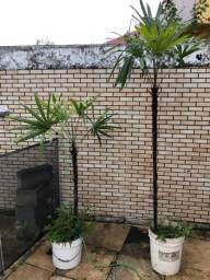 Duas palmeiras rafias para sua casa, vai com 20 kg de terra na base