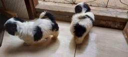 Troco filhote de shih tzu fêmea por um filhote macho.