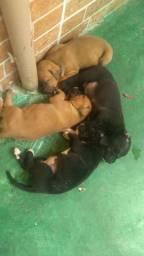 Filhotes de Boxer 500 reais