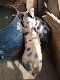 Vendo porca