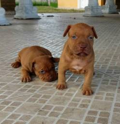 Pit Bull - perfeitos babys