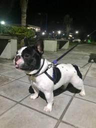 Bulldog francês (a procura de uma namorada)