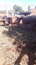 Leitoas e carneiros