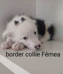 Fêmea de border Collie