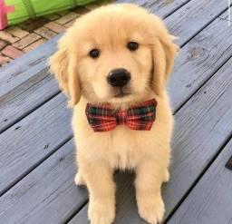 Filhotes de cachorro da raça golden