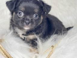 Chihuahua Mini com Vacina e Pedigree Pelo longo