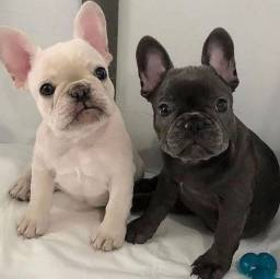 Título do anúncio: Adoráveis filhotes de Bulldog Francês