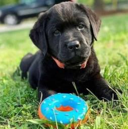 Título do anúncio: Incríveis filhotes de Labrador
