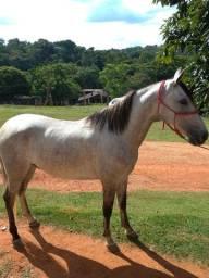 Dois cavalos mangalarga