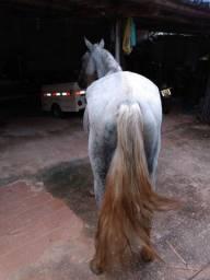 Cavalo macha picada muito manso com. Sete anos e meio