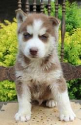 Husky Siberiano, macho e fêmea com garantias de vida e saúde