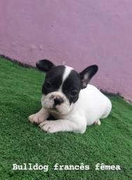 Bulldog Frances fofura, com garantia e procedência