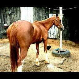 Vendo égua meio sangue Q.M