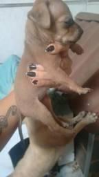 Vendo filhotes de pinscher miniatura