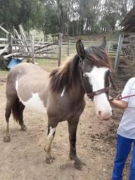 Cavalo crioulo com um olho azul