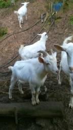 Cabras leiteiras e filhotes