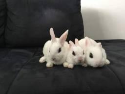 Mini coelho