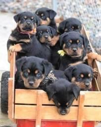 Rottweileres puros !! Fotos reais dos pais,Vendo lindos filhotes