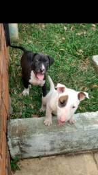 Bull Terrier macho disponível