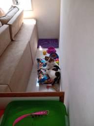 Filhote de 5 meses Beagle