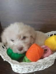 Poodles toy (apenas macho)