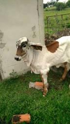 Vaca gir