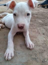 Título do anúncio: Vendo filhote de pitbull macho