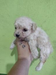 Título do anúncio: Poodle toy femea