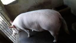 Leitoa com 2 meses de enxertado