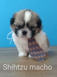 Baby Shihtzu lindissimos levamos até voce