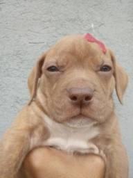 Pitbull em Oferta, red nose legítimo!