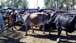 Vaca girolanda leiteira preço pra vender escuto proposta avista: