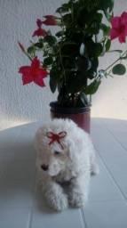 Vendo linda filhote de Poodle toy Puríssima FÊMEA