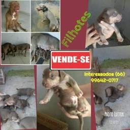 Vendo American Pit bull terrier