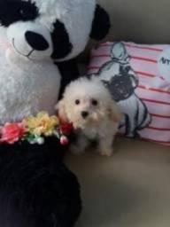 Filhotes microtoy poodles vacinados