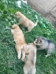 Filhotes Huskies