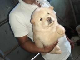Vendo filhote de Chow-chow femia