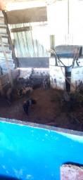 Vende Se duas porquinha caipira de dois meses