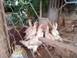 12 galinhas da raça Índio gigante