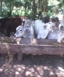 Lote de boi só gado liso top