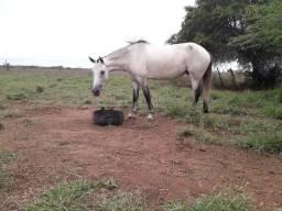 Égua Mangalarga Marchador (Sem Registro)