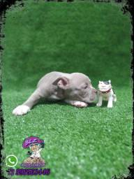 Filhote Lilac American Exotic Bully