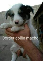 Macho Border Collie promoção