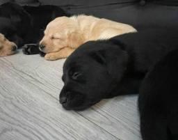Título do anúncio: Labrador femeas e machos disponiveis