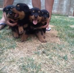 Título do anúncio: Vende-se Filhote Rottweiler
