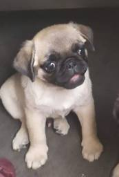 Machinho pug